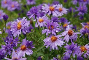 (Aster dumosus Early Blue)