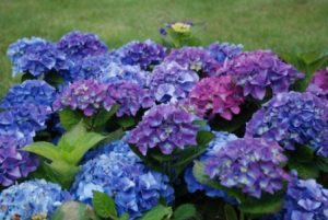 suurelehine hortensia (Hydrangea macrophylla) 'Early Blue'