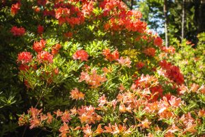 Jaapani rododendron (Rhododendron japnicum)